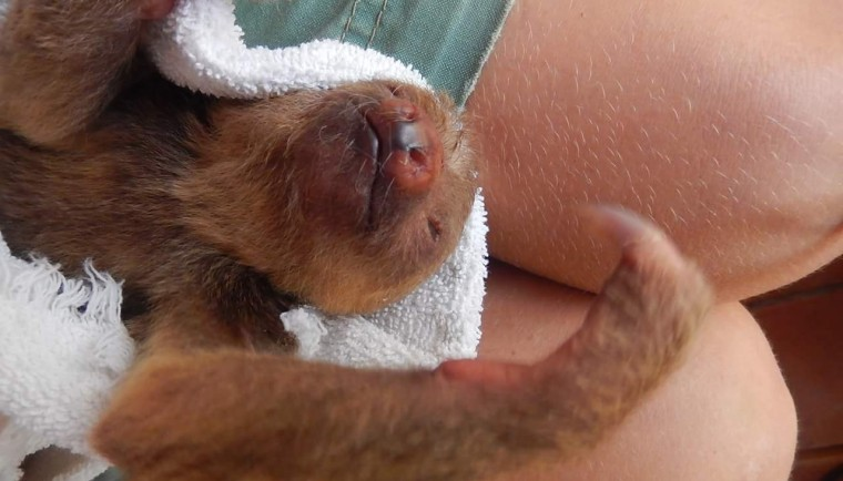 This cute little baby sloth did get reunited with its mother