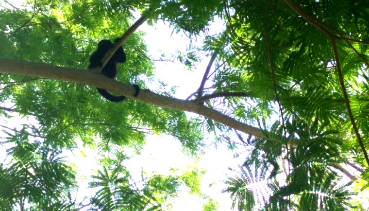 Monkey vistors