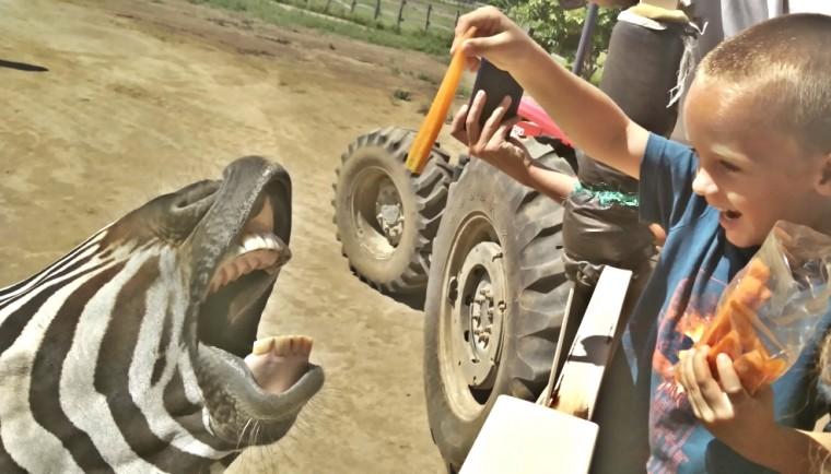 Feeding a hungry zebra